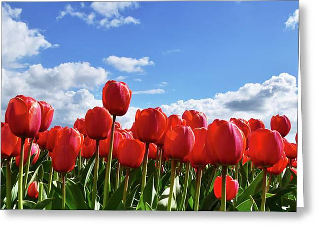 Red Tulips Front Row Greeting Card by Mihaela Pater
