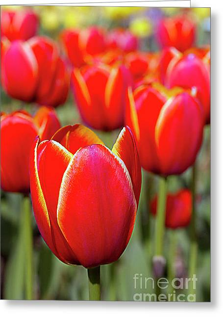 Red And Yellow Tulips I Greeting Card