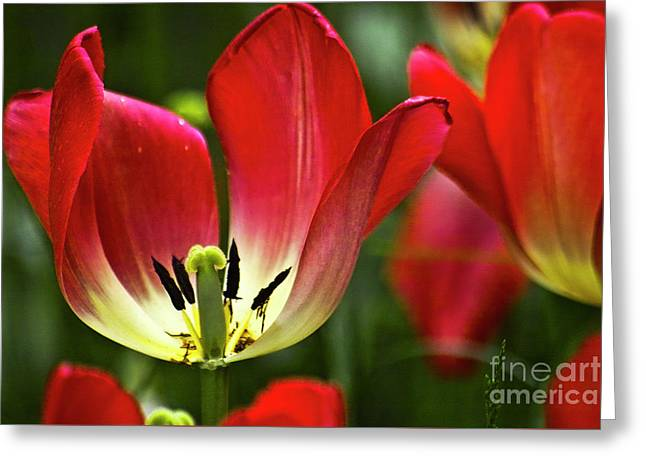 Red Tulips Petals Greeting Card by Heiko Koehrer-Wagner