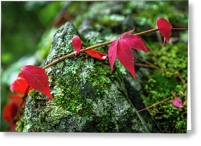 Greeting Card featuring the photograph Red Vine by Bill Pevlor