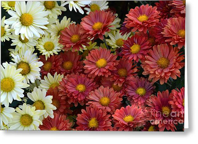 Red White And Yellow Fall Flowers Greeting Card