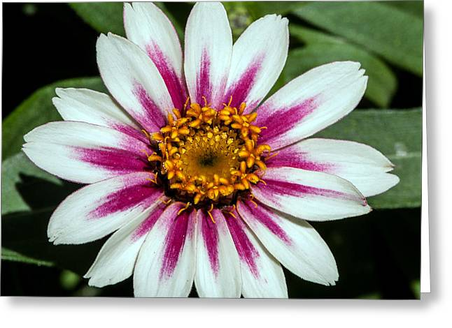 Red White And Yellow Flower Greeting Card by John Haldane