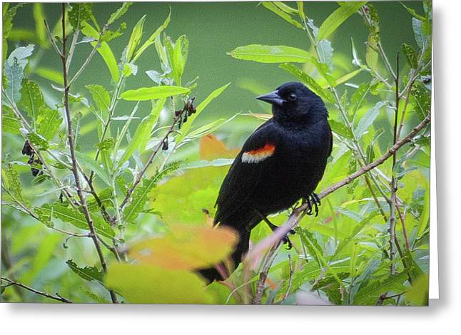 Red Wing In The Marsh Greeting Card