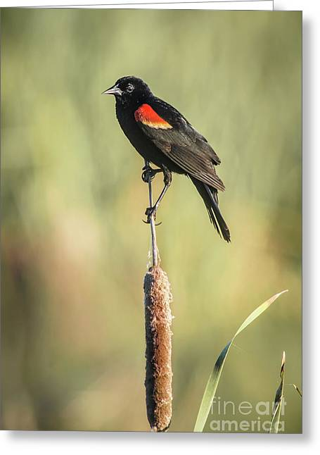 Red-wing On Cattail Greeting Card