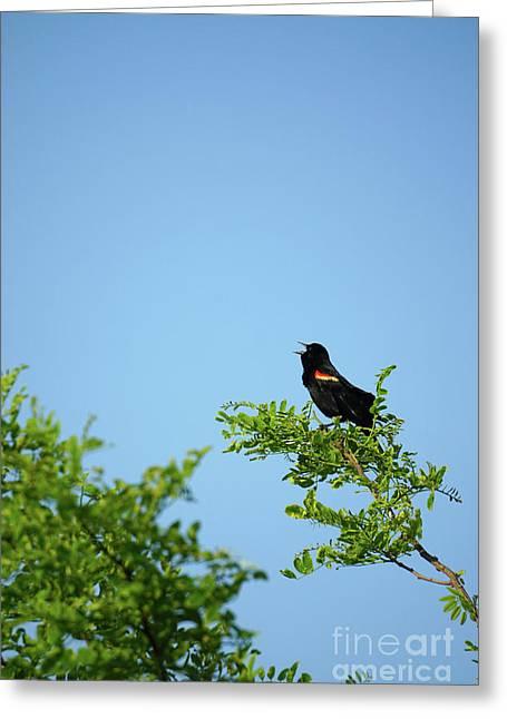 Red-winged Black Bird Greeting Card