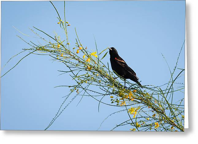 Red Winged Black Bird On A Retama Tree Greeting Card by Debra Martz