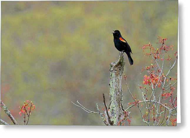 Red Winged Blackbird 2017 Square Greeting Card