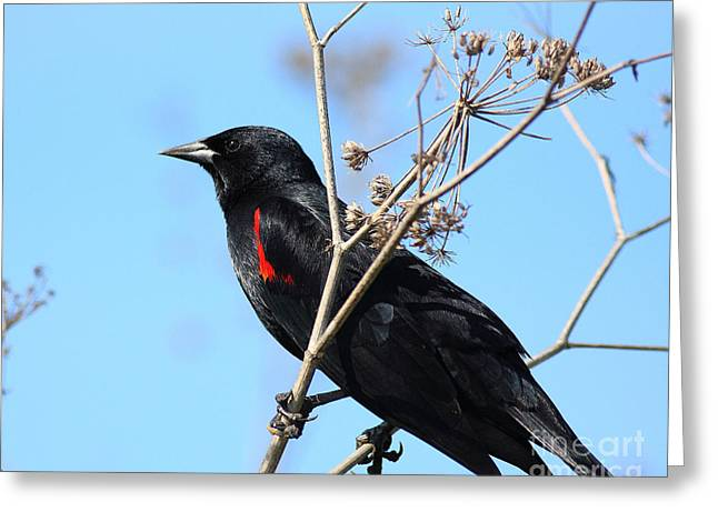 Red-winged Blackbird . 40d5718 Greeting Card by Wingsdomain Art and Photography