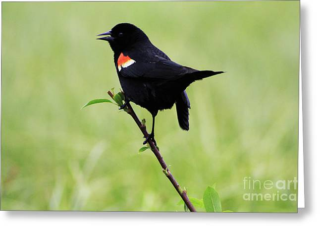 Greeting Card featuring the photograph Red Winged Blackbird by Alyce Taylor