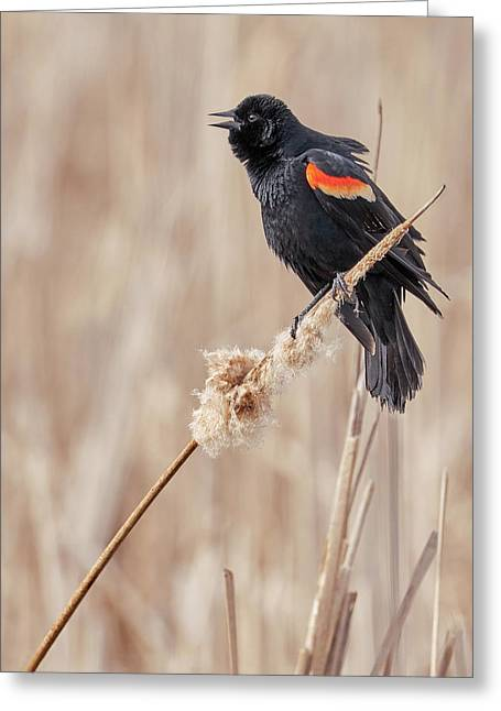 Male Red-winged Blackbird In A Minnesota Marsh Greeting Card