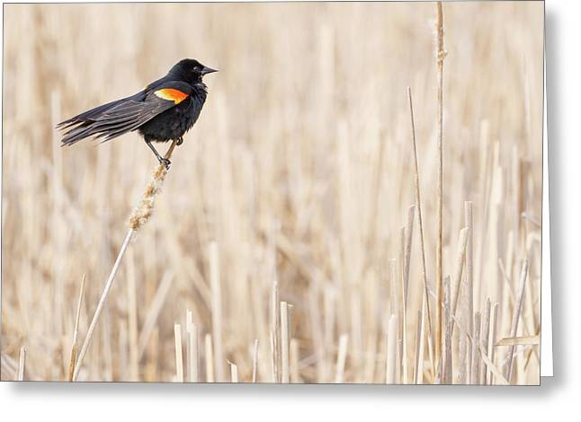 Red-winged Blackbird In A Minnesota Wetland Greeting Card