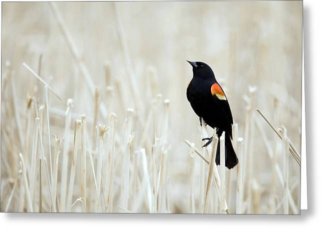 Red-winged Blackbird Perched Greeting Card by Philippe Henry