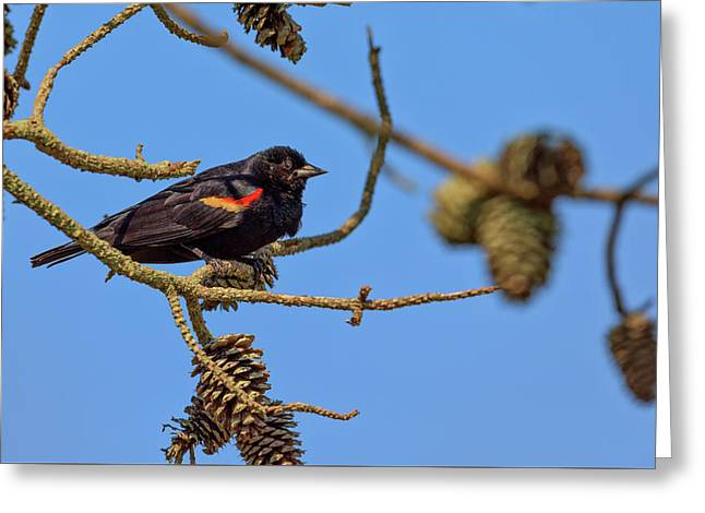 Red-winged Blackbird  Greeting Card by Rick Berk