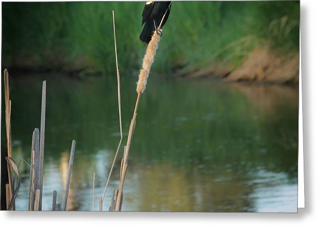 Red Winged Blackbird  Greeting Card by Robert Bales
