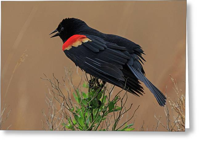 Greeting Card featuring the photograph Red Winged Blackbird by Robert Pilkington