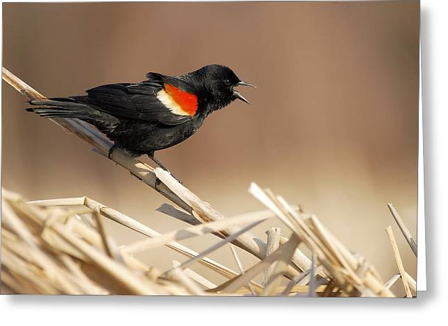 Red-winged Blackbird Singing Greeting Card by Birds Only