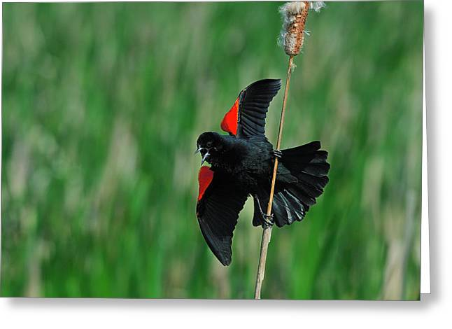 Red-winged Blackbird Greeting Card by Tony Beck