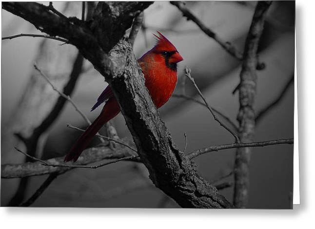 Redbird Greeting Card by Shawn Wood