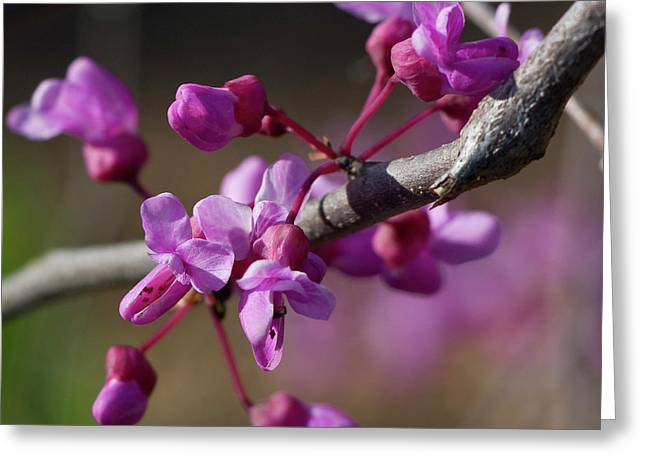 Redbud Blossoms Greeting Card by Alan Raasch