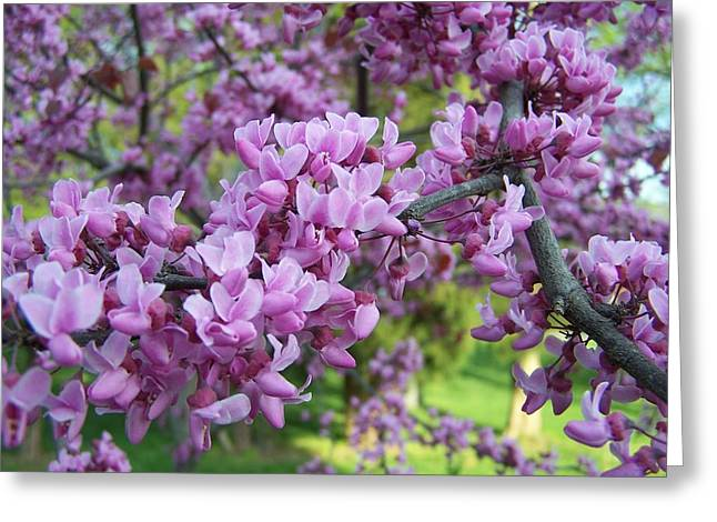 Redbud Purple Pansy Greeting Card by Sandy Collier
