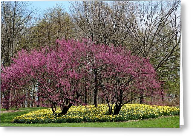 Redbuds And Daffodils Greeting Card
