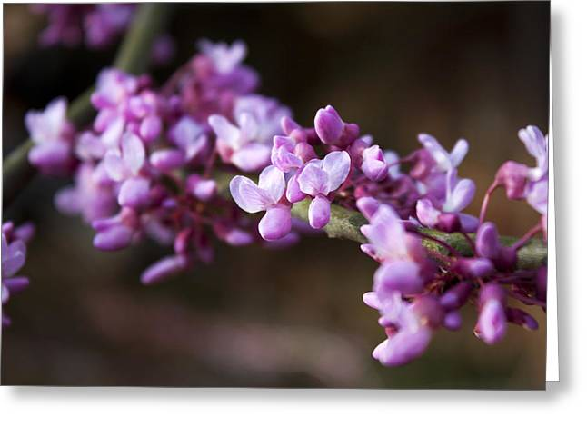 Greeting Card featuring the photograph Redbuds In March by Jeff Severson