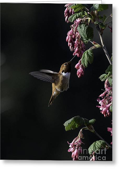 Redcurrant Rufous Greeting Card by Moore Northwest Images