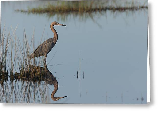 Reddish Egret And Reflection In The Morning Light Greeting Card