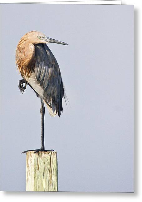 Greeting Card featuring the photograph Reddish Egret On Piling by Bob Decker