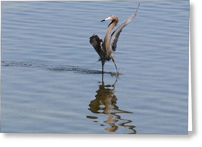 Greeting Card featuring the photograph Reddish Egret Plays John Travolta by Phil Stone