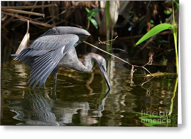 Reddish Egret Reflection Greeting Card by Julie Adair