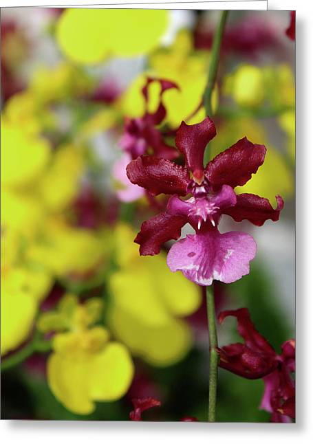 Maroon And Yellow Orchid Greeting Card