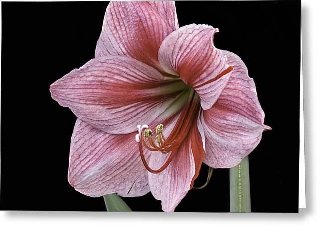 Greeting Card featuring the photograph Reddish Pink Lily by Ken Barrett