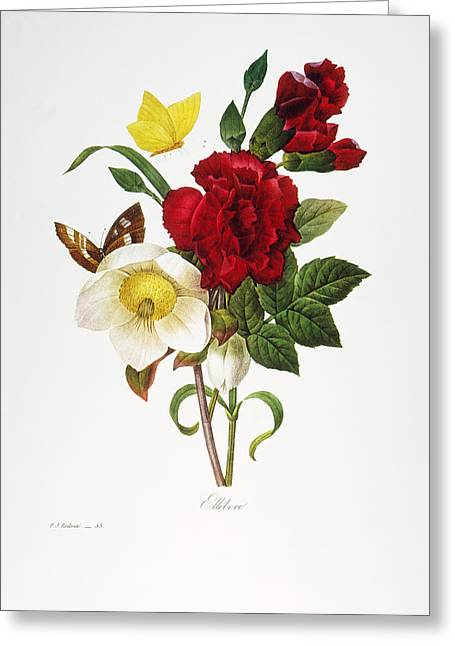 1833 Greeting Cards - Redoute: Hellebore, 1833 Greeting Card by Granger