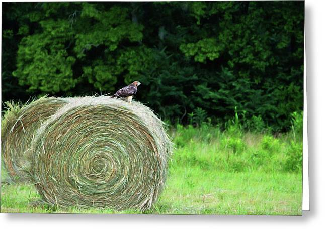 Best Sellers -  - Tennessee Hay Bales Greeting Cards - Redtailed Hawk Greeting Card by Jan Amiss Photography
