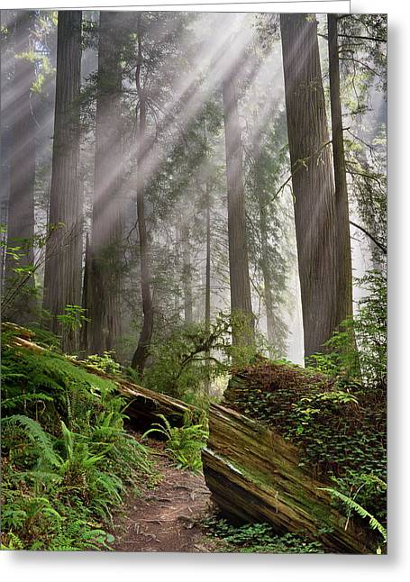Redwood Light Greeting Card