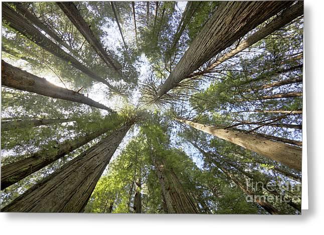 Redwood Towering Giants Greeting Card