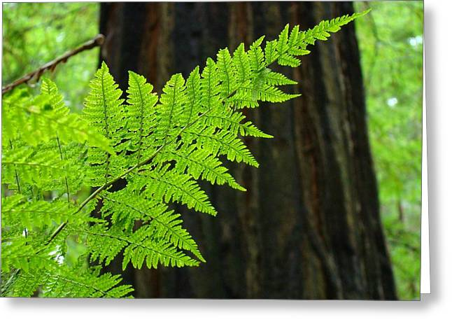 Redwood Tree Forest Ferns Art Prints Giclee Baslee Troutman Greeting Card by Baslee Troutman
