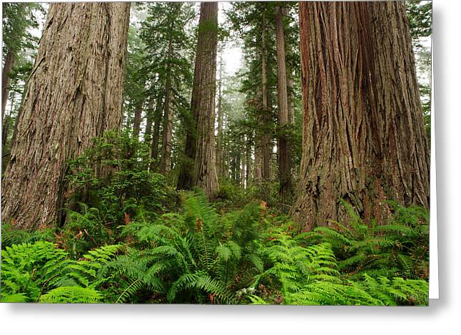 Redwoods Greeting Card by Eric Foltz