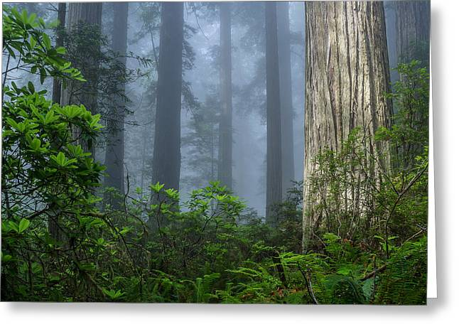 Redwoods In Blue Fog Greeting Card