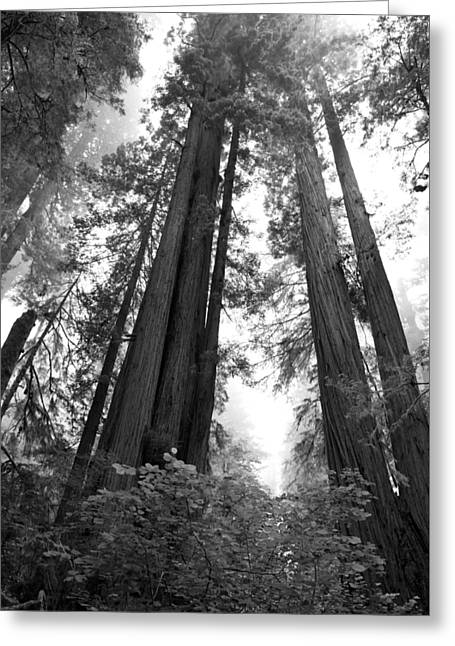 Redwoods In The Fog Greeting Card by Loree Johnson