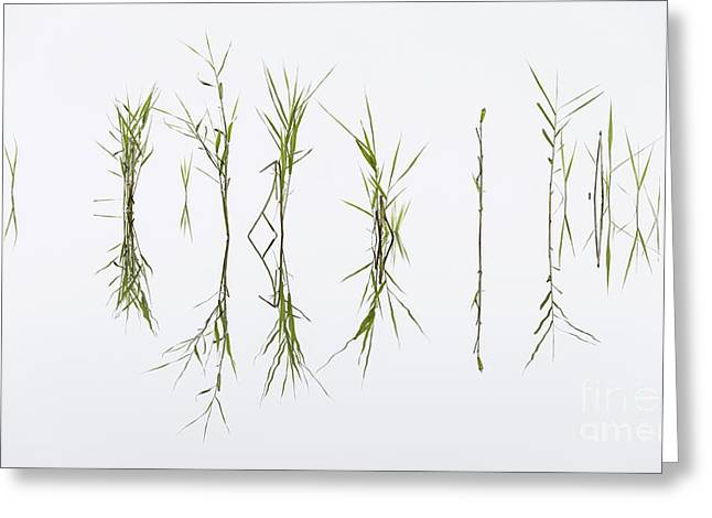 Reed Reflection Greeting Card by Richard Thomas