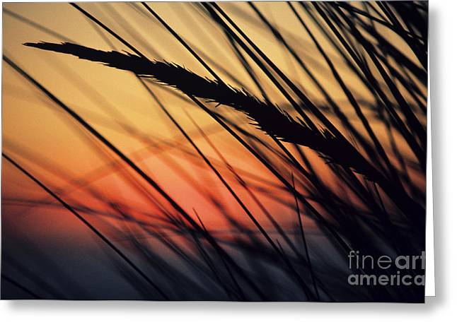 Reeds And Sunset Greeting Card by Brent Black - Printscapes