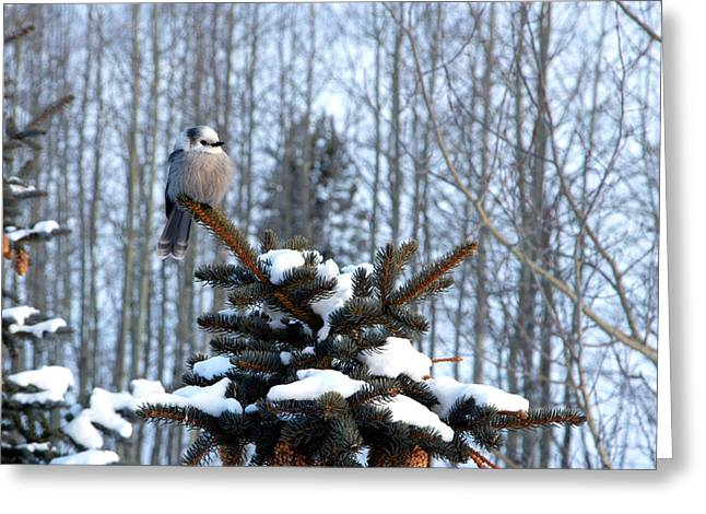 Refined Little Gray Jay In Colorado Greeting Card