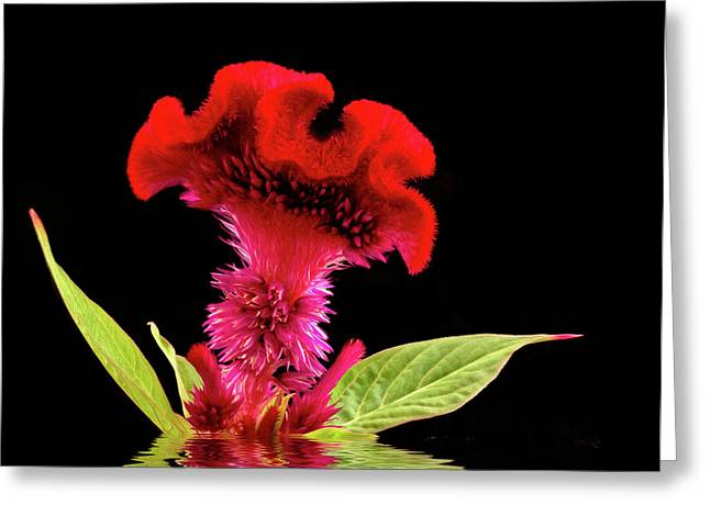 Reflected Celosia Greeting Card by Jean Noren