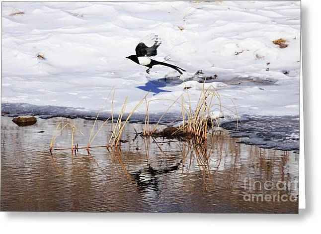 Reflecting Magpie Greeting Card