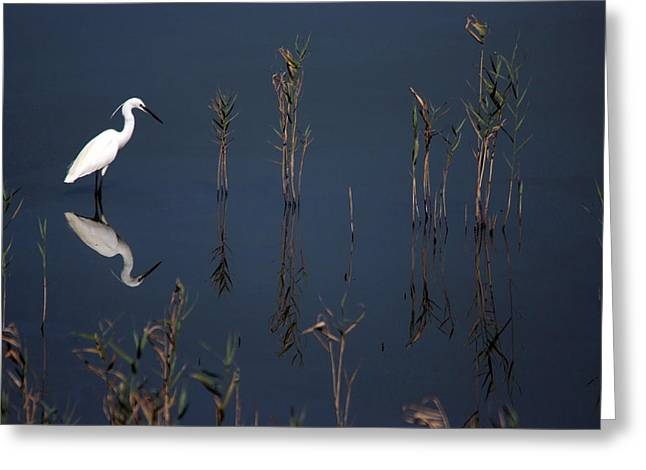 Reflection Of Little Egret In Lake Greeting Card