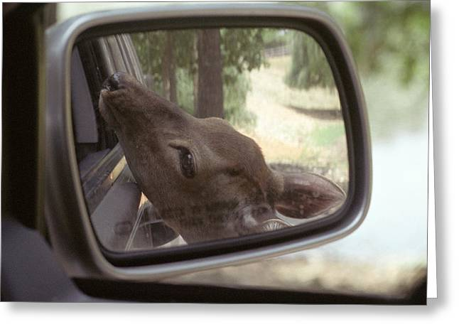Greeting Card featuring the photograph Reflections Of A Deer by Wanda Brandon