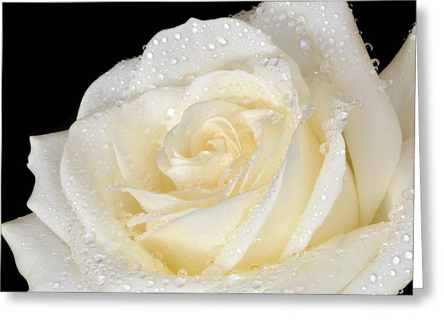 Refreshing Ivory Rose Greeting Card