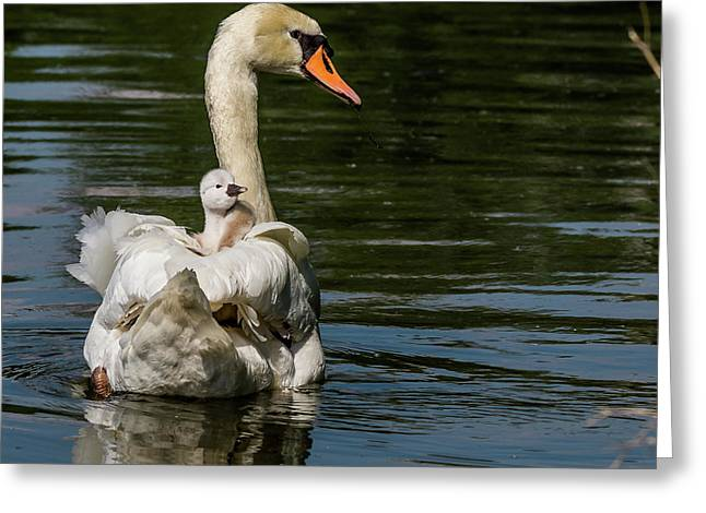 Regal Cygnet Greeting Card